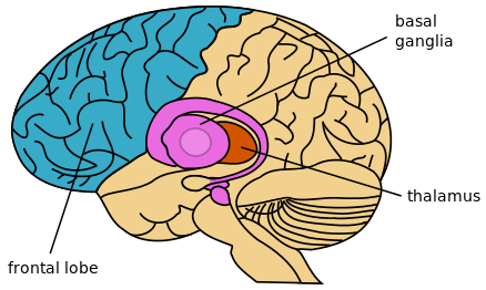diagram of the brain highlighting the basal ganglia